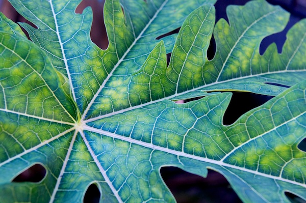 Plant leaf in color in Urique, Copper Canyon, Mexico by Ralph Velasco.