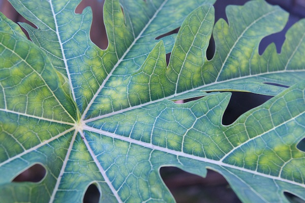 Plant leaf original in color in Urique, Mexico by Ralph Velasco.