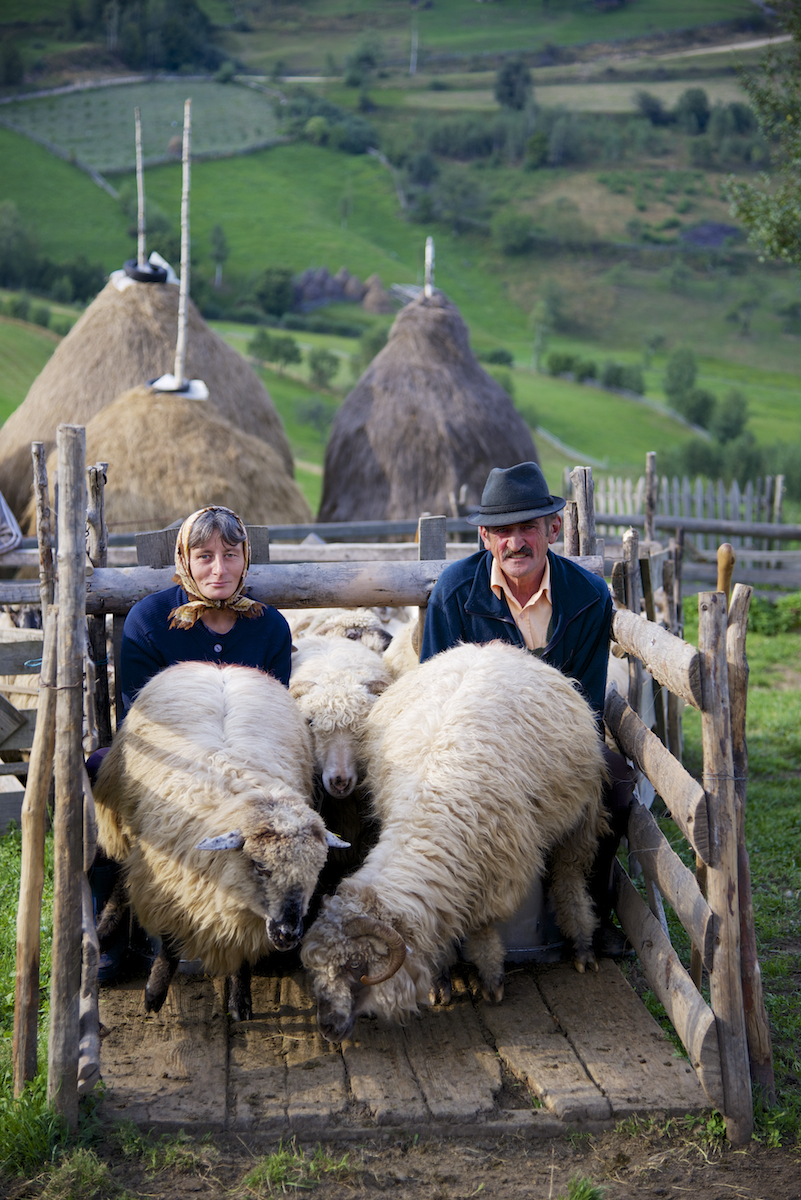 Dinu and Ileana Milking Sheep in Sheep Fold near Sibiu, in Transylvania, Romania by Ralph Velasco