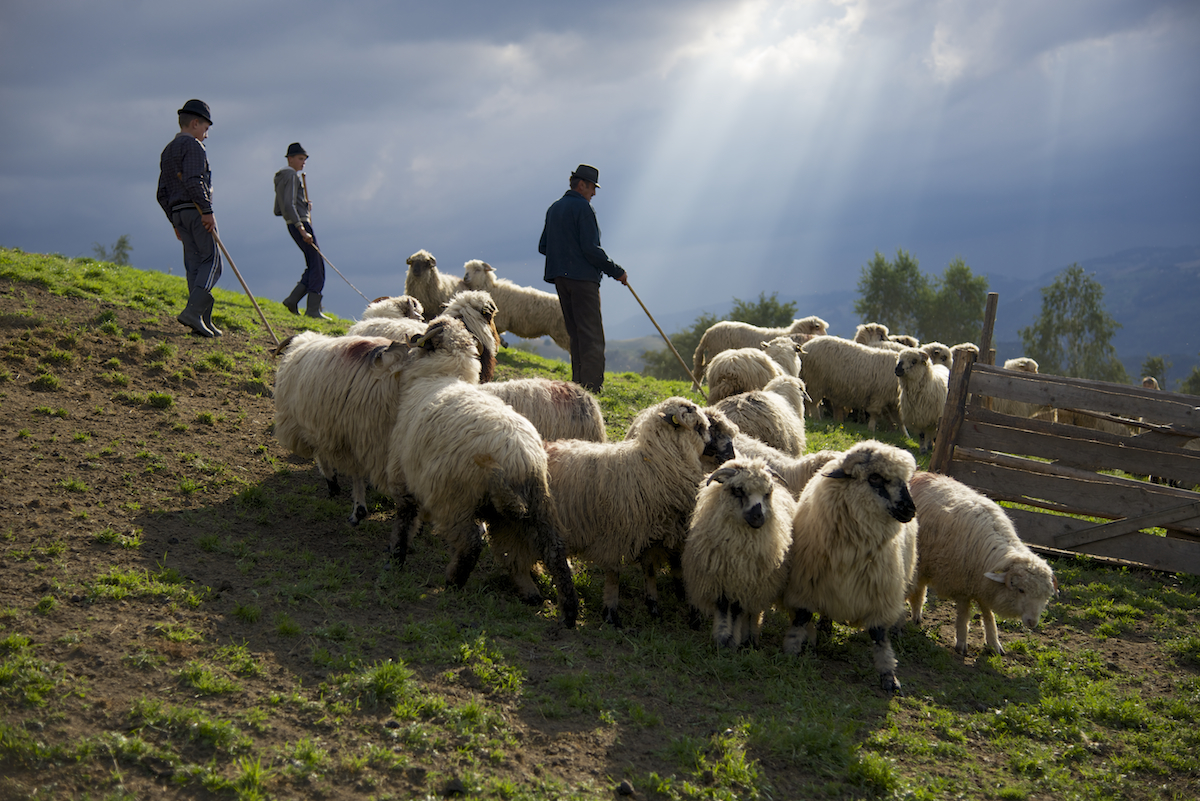 Dinu and Sons with Sheep and Sun Rays in Sheep Fold near Sibiu, in Transylvania, Romania by Ralph Velasco