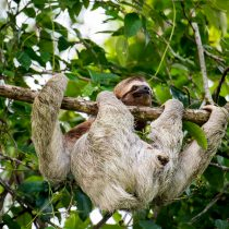 3 Toed Sloth Hanging in There - Osa Peninsula, Costa Rica - Copyright 2018 Ralph Velasco