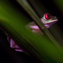 Red-Eyed Tree Frog Through Blurred Out Leaves - Osa Peninsula, Costa Rica - Copyright 2018 Ralph Velasco