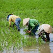 3-ladies-bending-down-in-rice-paddy-outside-can-tho-vietnam-copyright-2014-ralph-velasco